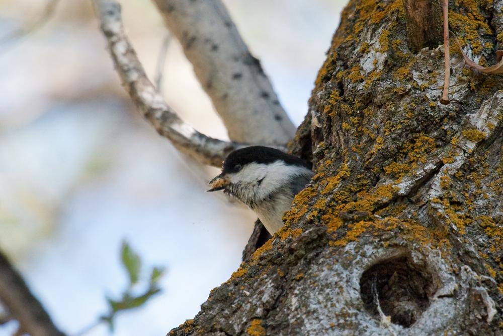 Буроголовая гаичка (Poecile montanus)