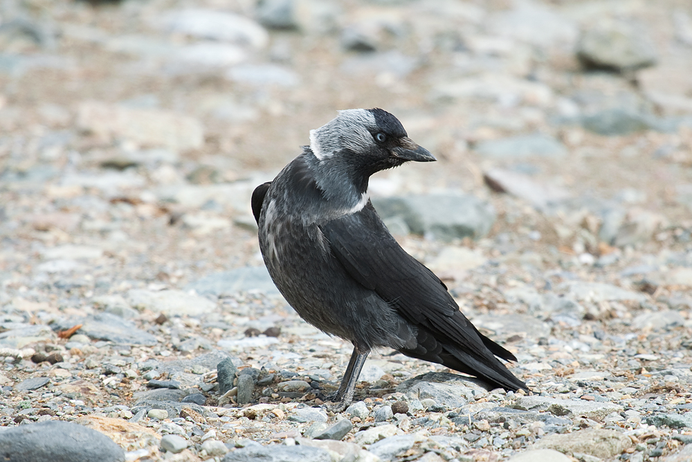 Галка (Corvus monedula)