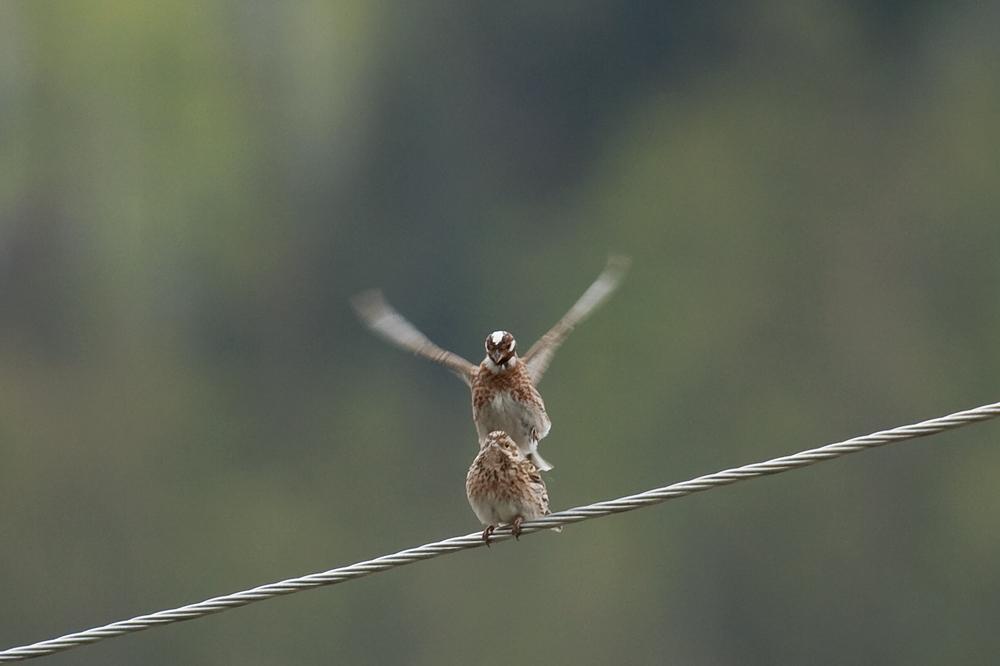 Белошапочная овсянка (Emberiza leucocephalos)