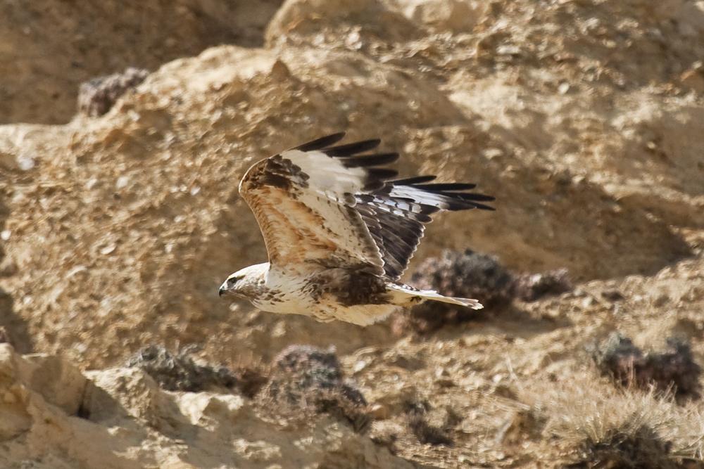 Мохноногий курганник (Buteo hemilasius)