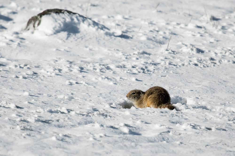 Суслик на снегу