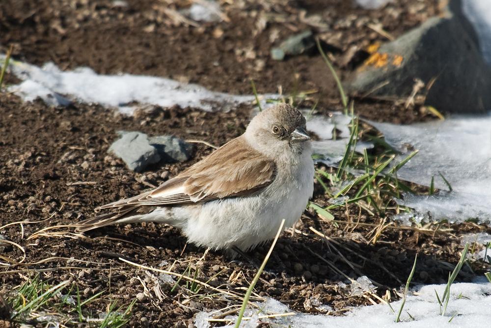 Снежный воробей (Montifringilla nivalis)