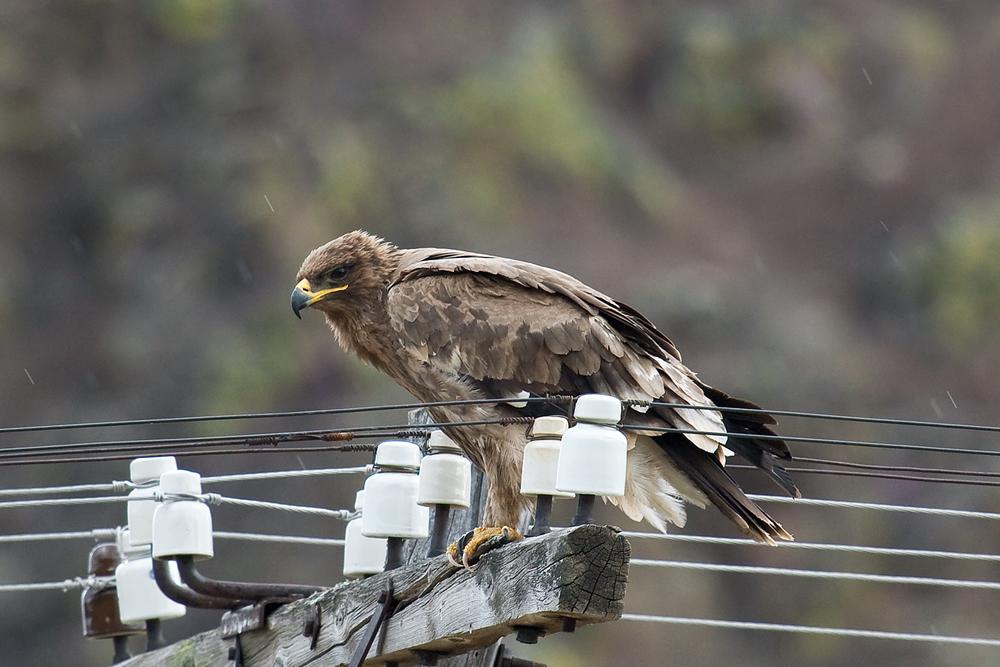 Степной орёл (Aquila rapax)