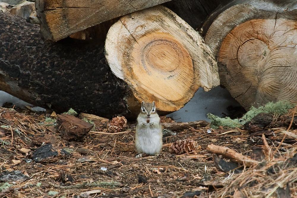 Сибирский бурундук (Tamias sibiricus)