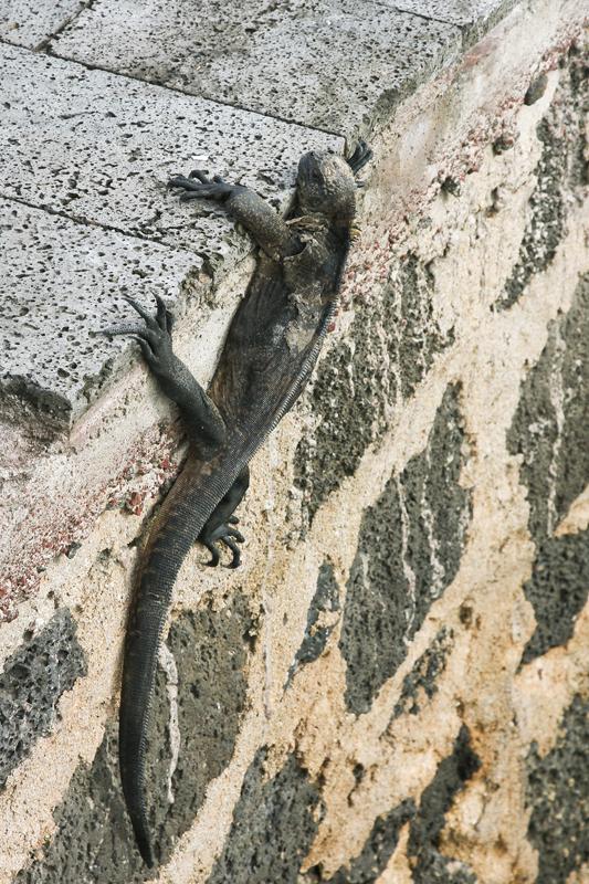 Морская игуана (Amblyrhynchus cristatus)