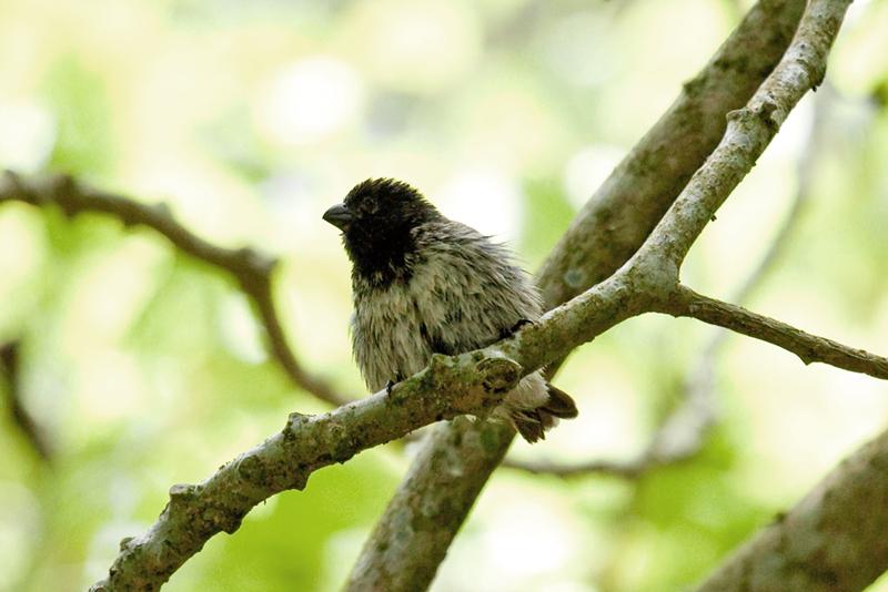 Малый древесный вьюрок (Camarhynchus parvulus)