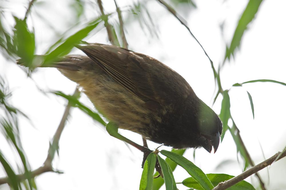 Толстоклювый вьюрок (Platyspiza crassirostris)