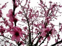 миндаль розовый