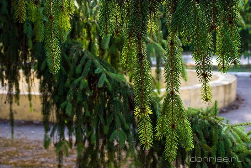 Ветви ели в Мелиховском санатории