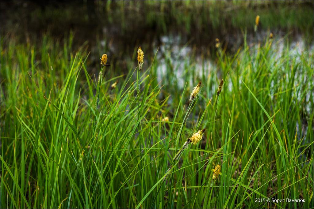 прибрежная трава картинки
