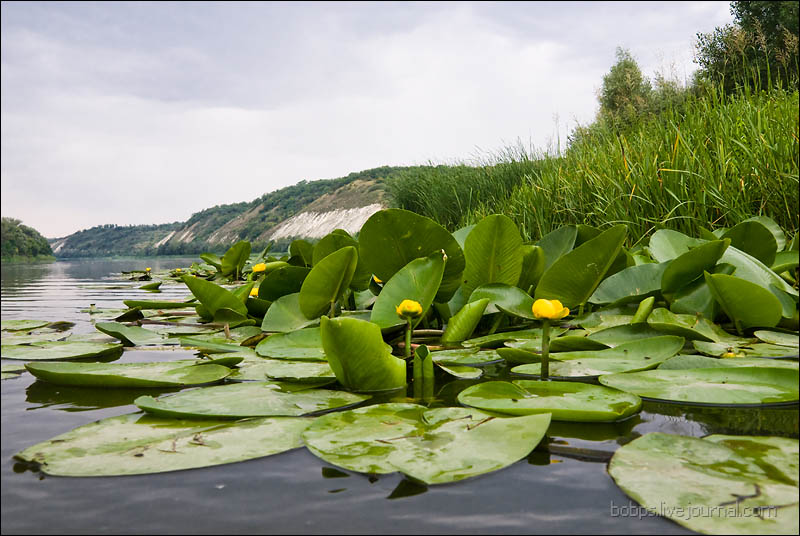 Кубышка желтая у берега Дона