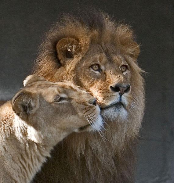 Пара львов...