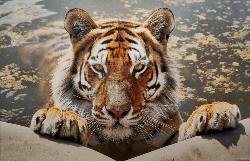 Тигр в СПА.