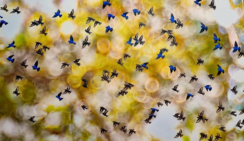 Лазоревые птицы. Каллол Мукерджи, Индия. Место съемки: Сикким, Индия.