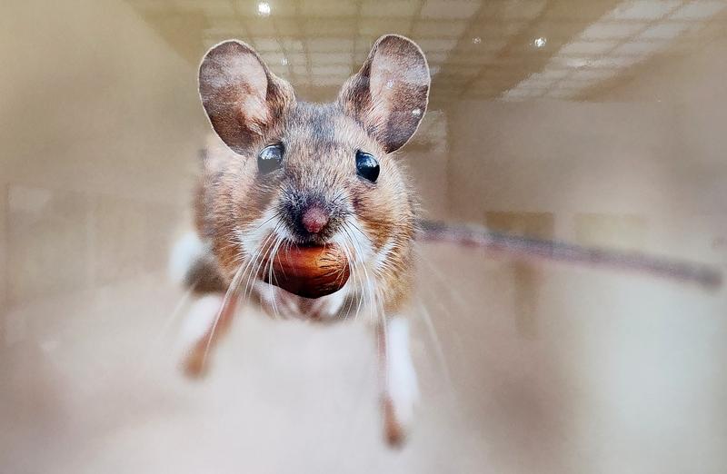 Урвал... Юлиан Рад, Австрия. Место съемки: Вена, Австрия. - Это лесная мышь.