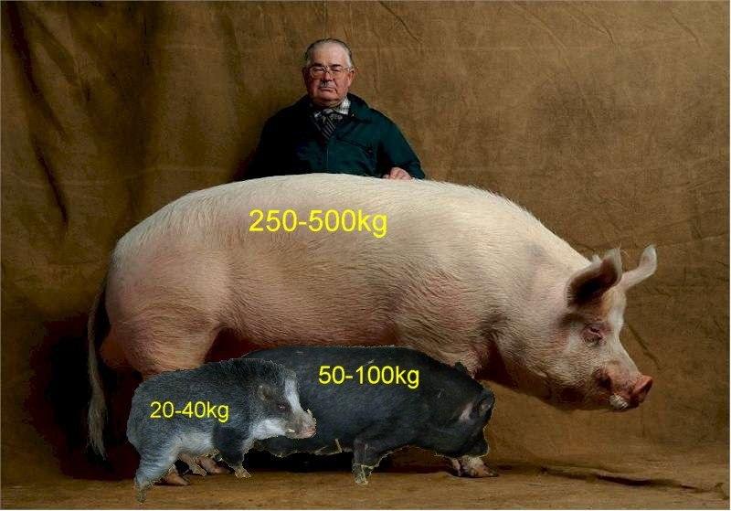 farm hog vs mini pig