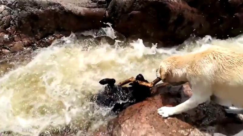 Лабрадор спасает собаку