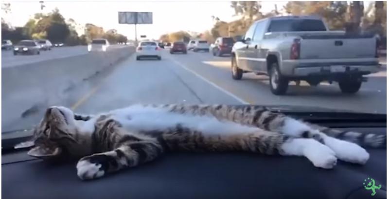 Кот в машине.jpg