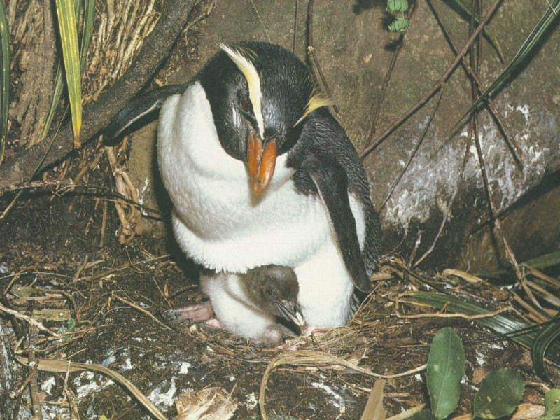 Пингвины Виктории.jpg