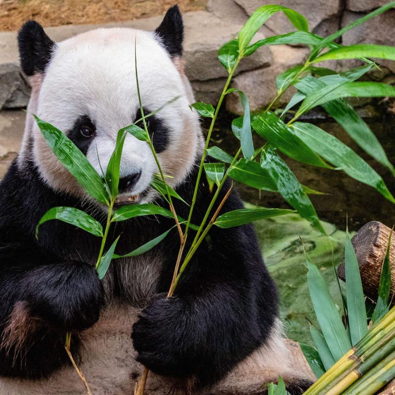 Панда в Южной Корее. Фото: Michael Payne / unsplash.com