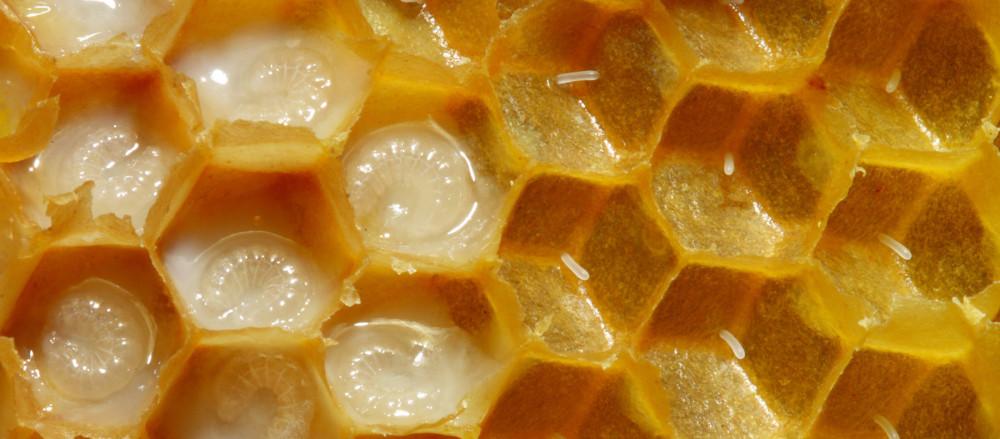 Справа видны яйца, только что отложенные маткой (засев). Слева — личинки в молочке (непечатный расплод). Фото: Waugsberg / ru.wikipedia.org