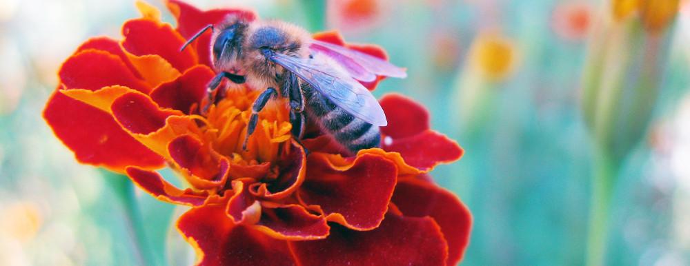 Пчела, собирающая нектар на бархатце. Фото: Anaxibia / ru.wikipedia.org