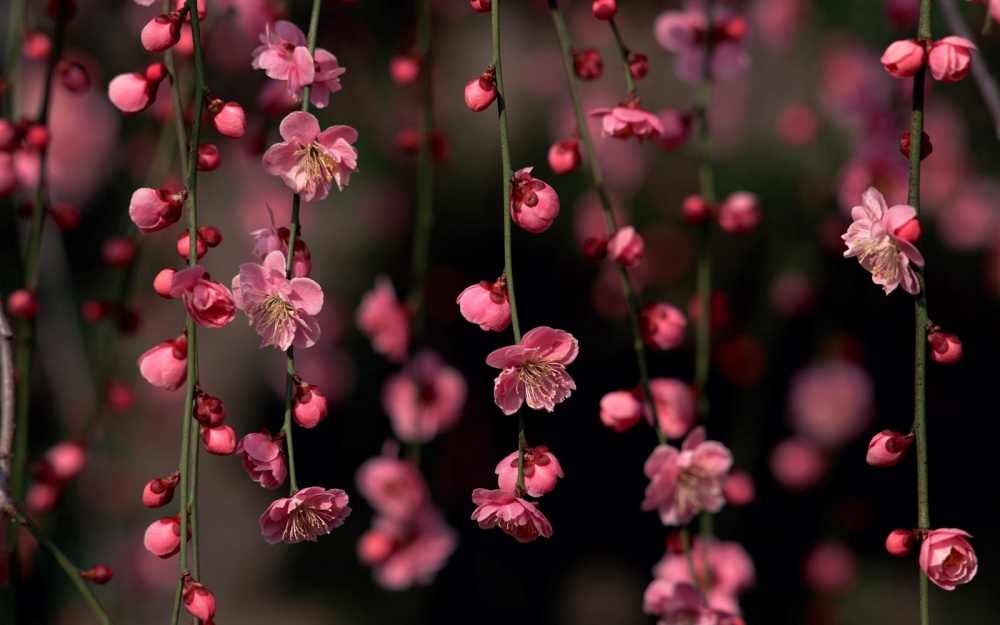 4381355-R3L8T8D-1000-sakura-blossom-awesome-spring-flowers-nature_179469