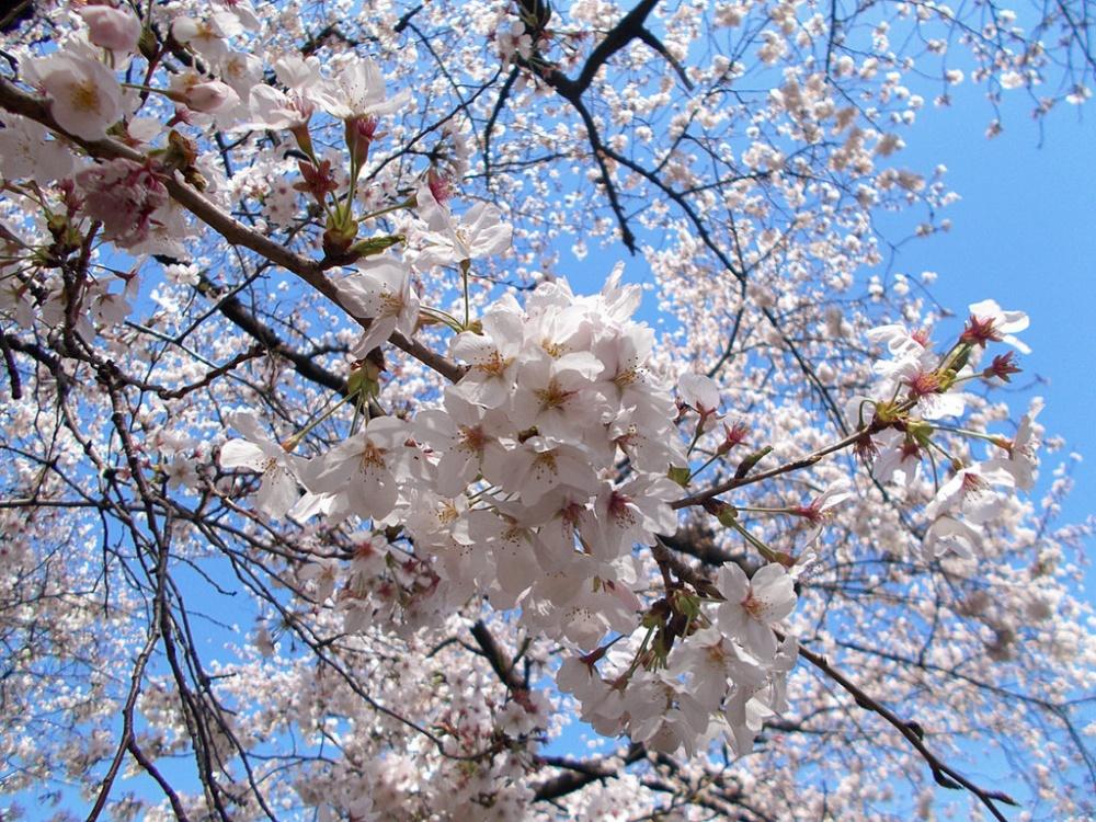 4385855-R3L8T8D-1000-cherry_blossom_by_sheltiewolf-d5z6nzr