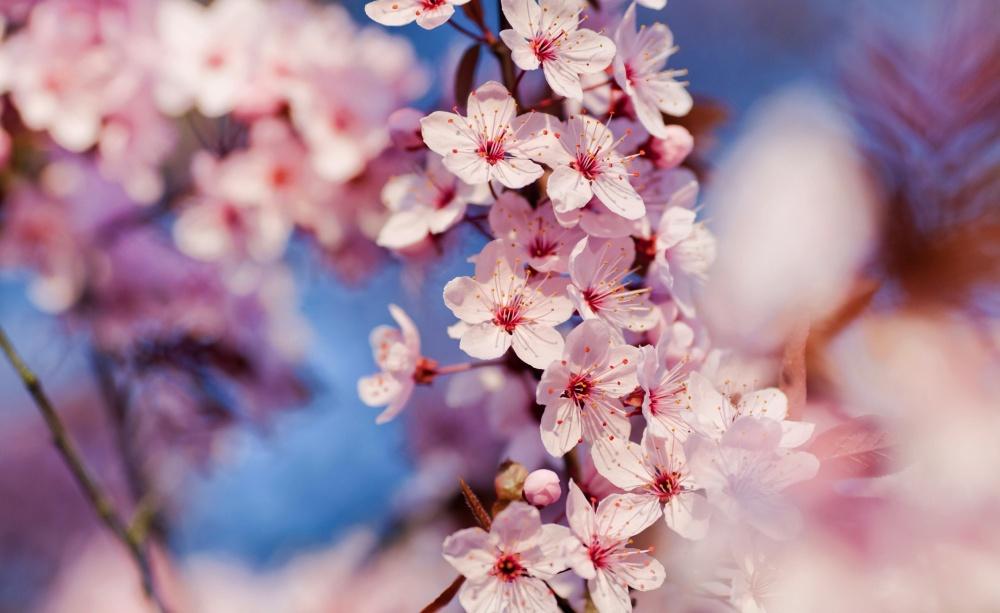 4391055-R3L8T8D-1000-cherry_blossom_3-wallpaper-2560x1600