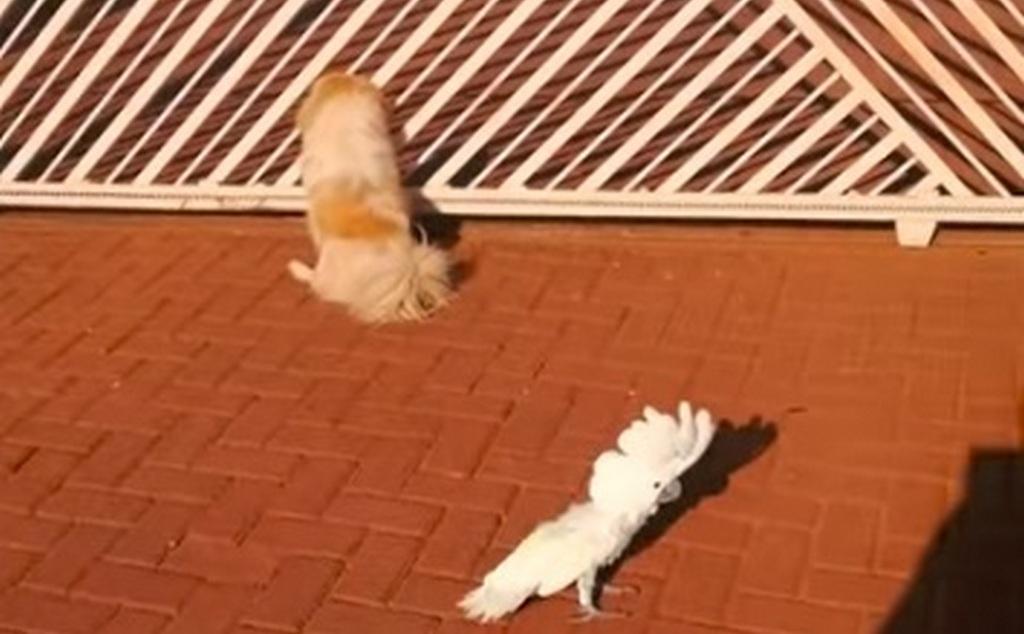 Картинки по запросу Попугай вырос среди собак. Он лает и охраняет дом фото