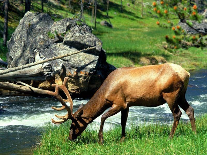 grazing_bull_elk_yellowstone_national_park_wyoming