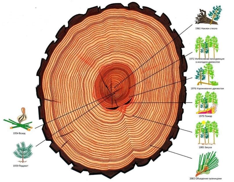 На годовых кольцах дерева отражается вся его история. Если бы можно было сделать спил души, то и там мы увидели бы все основные травмы, выпавшие на долю человека.
