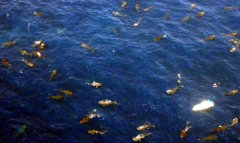 Китовые акулы, Юкатанский пролив