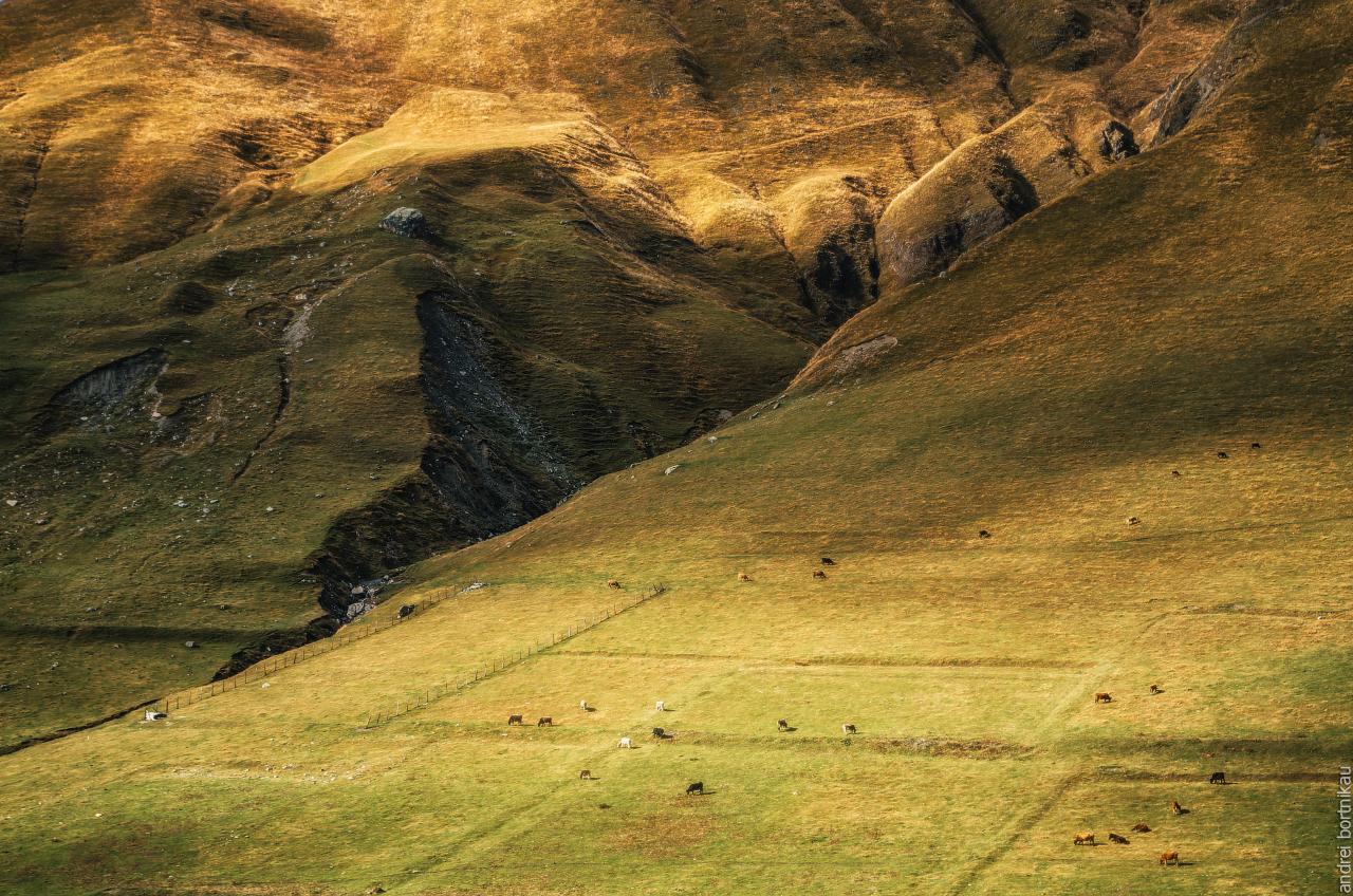 Коровы пасутся на склоне горного хребта, Грузия