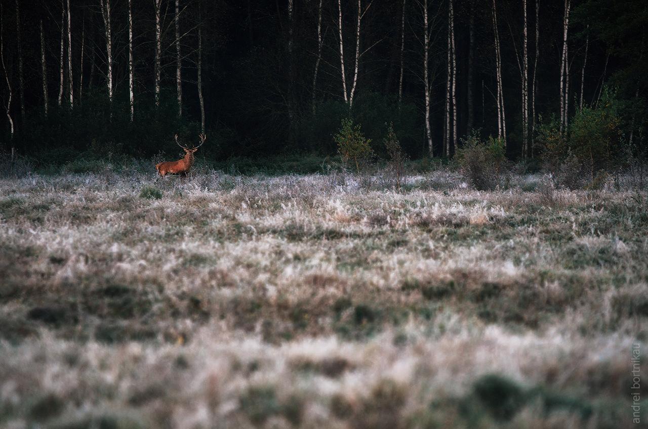 Гон оленей в Налибокской пуще, Беларусь