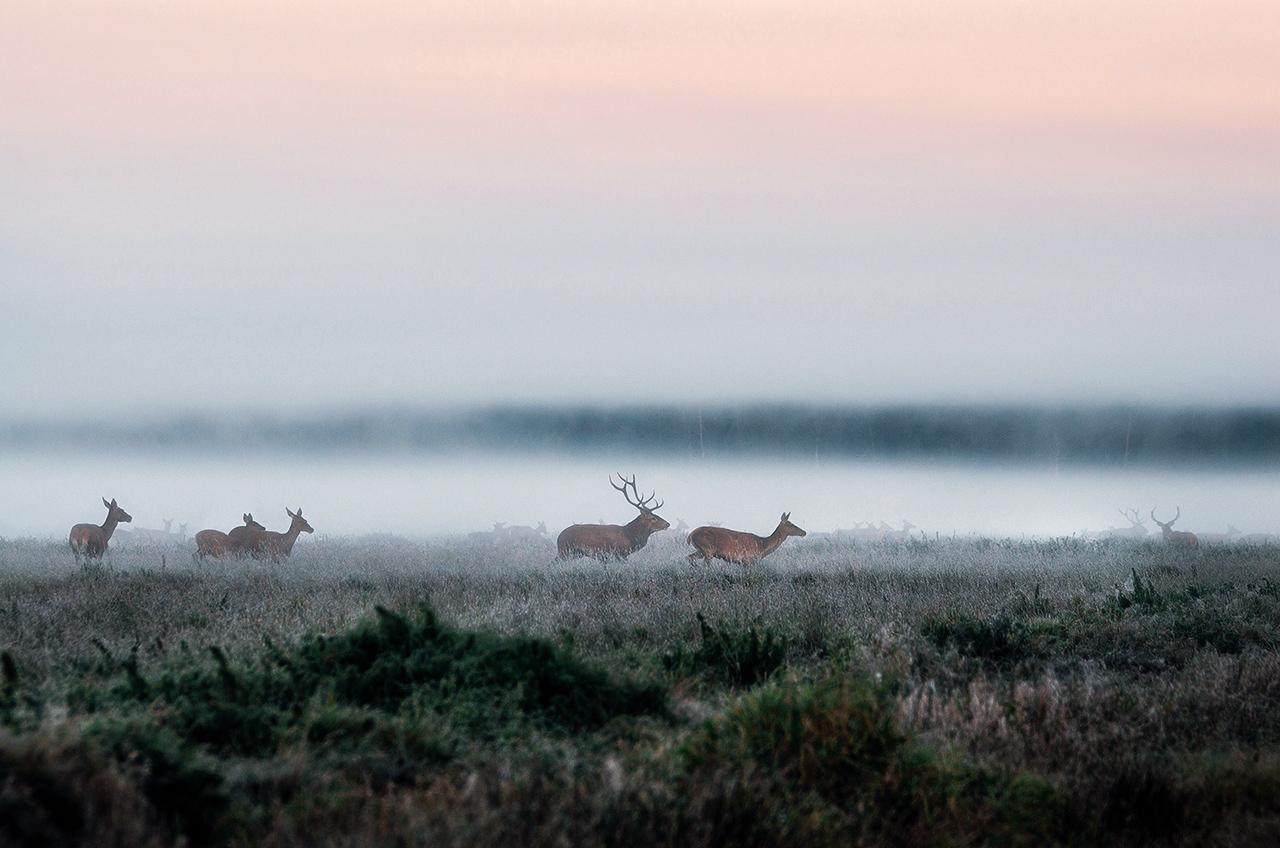 Олени в дикой местности, Налибокская пуща, Беларусь