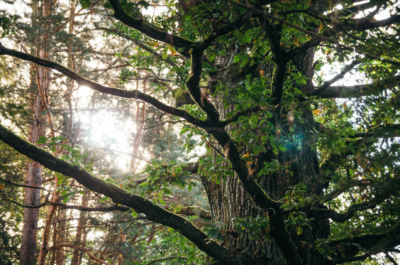 Самый старый дуб Налибокской пущи, которому 450 лет, Беларусь