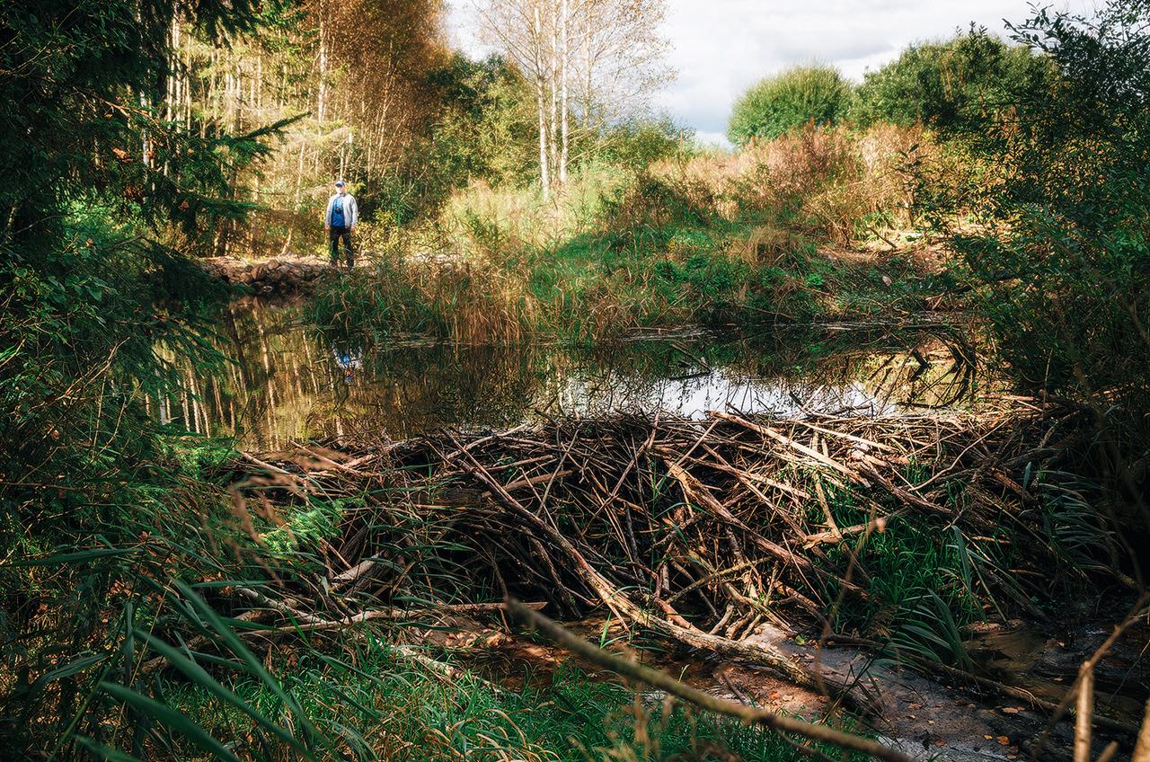 Бобровая плотина или хатка, Налибокская пуща, Беларусь