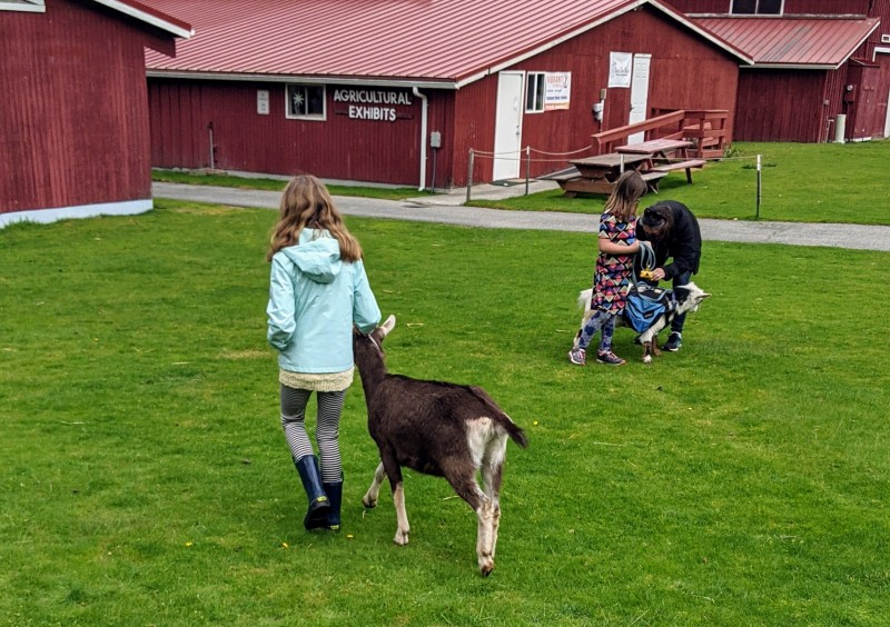 Lil got some practice caring for goats at the H4 club. It doesn't look like much, but they're so stubborn, just walking with them in a circle is a big accomplishment.