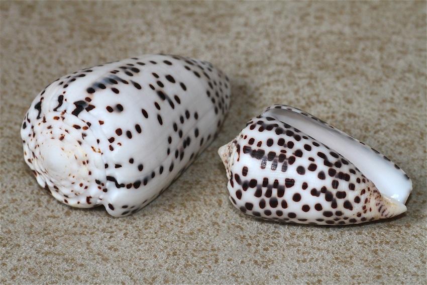 СМЕРТОНОСНЫЕ МИЛАШКИ 2 Conus pulicarius