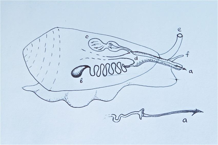 СМЕРТОНОСНЫЕ МИЛАШКИ 2 Conus anatomy