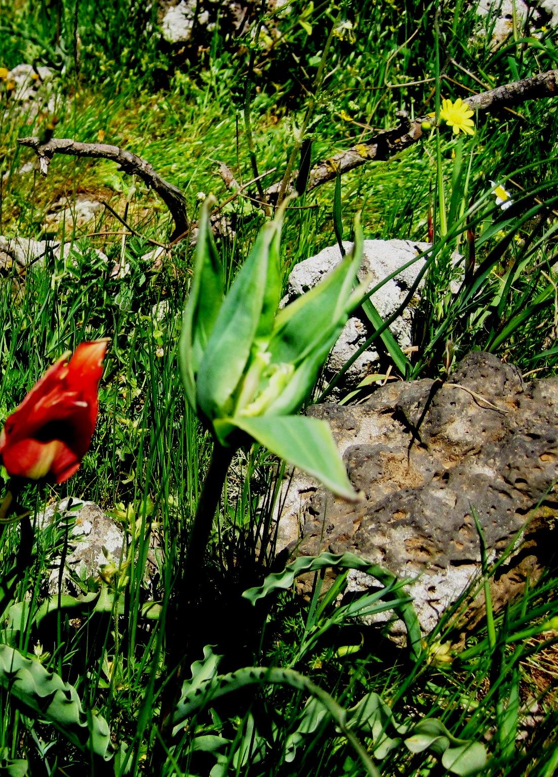 ЦветыГолан 027