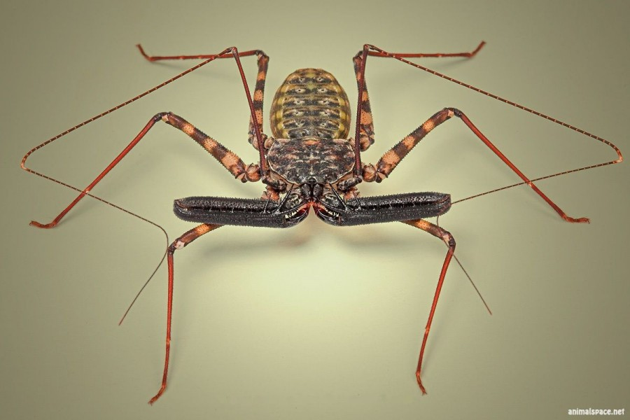 1312142216_whip_scorpion_1_by_blepharopsis