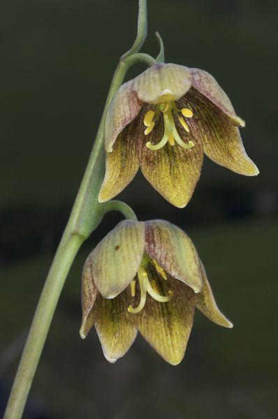 398px-Fritillaria_agrestis