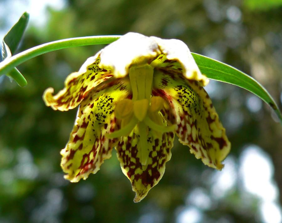 Fritillaria_affinis_3