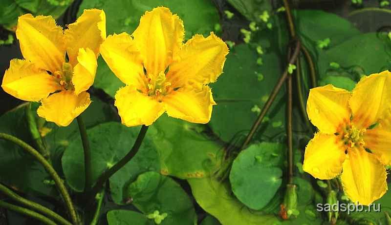 Nymphoides_peltata_flowers