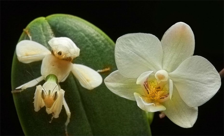 Orhideynyy-bogomol