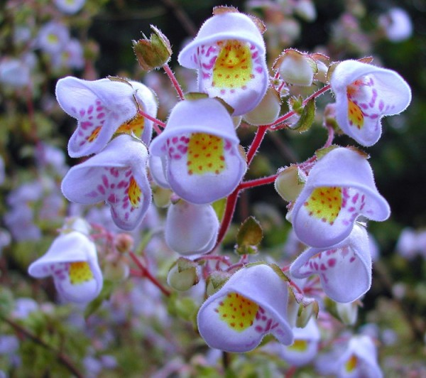 Jovellana_violacea_violet_Teacup_Flower_1029