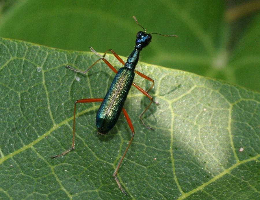 Neocollyris Leptocollyris variitarsis-habitat 4035