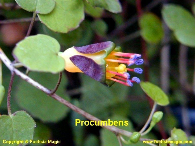procumbens